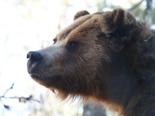 Grizzly Bear up close