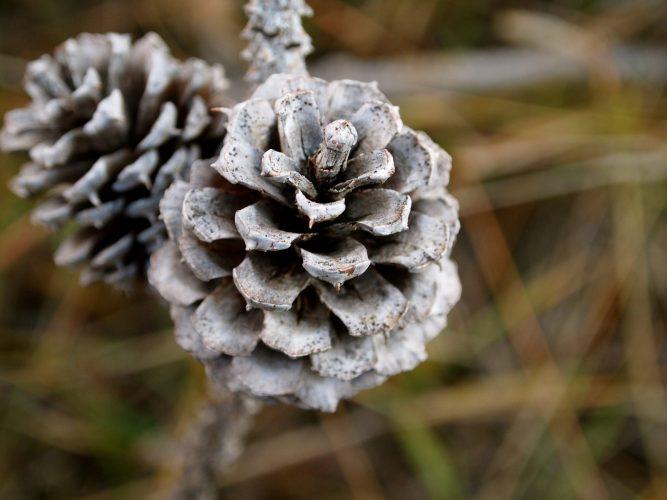 Colorado Ponderosa Pine Cone