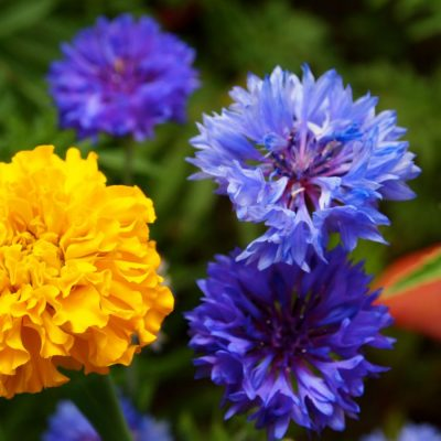 Yellow Marigold and Blue Cornflowers