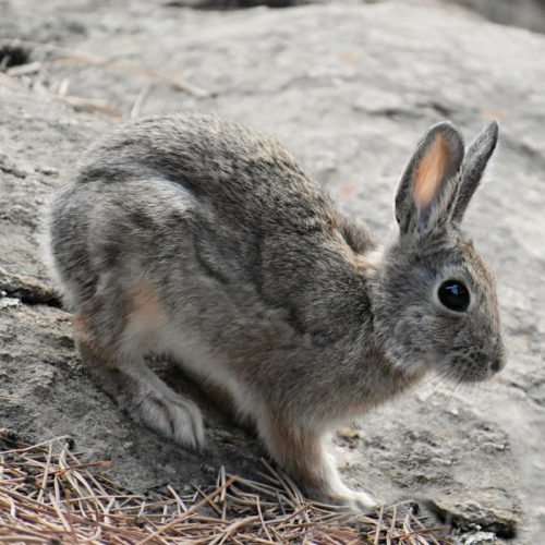 colorado rabbit