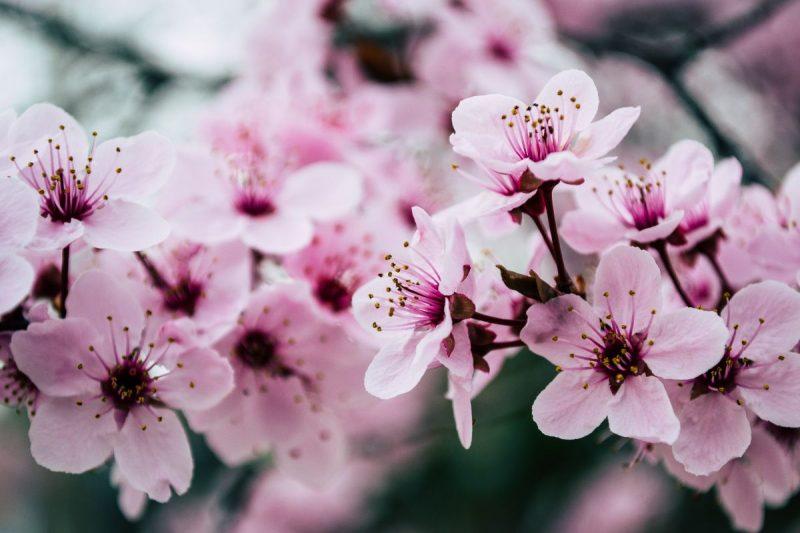 pink-petaled-flowers-closeup-photo-99273472