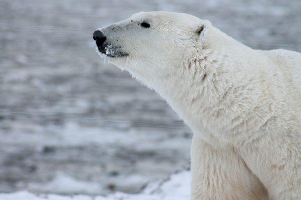 polar-bear-