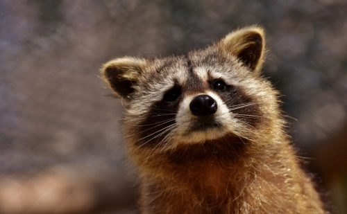 raccoon-2183746_192072